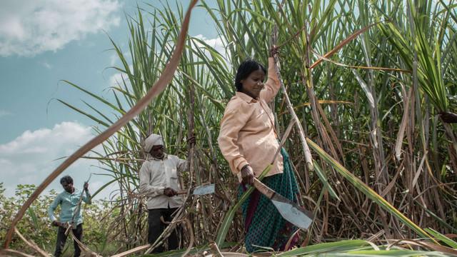 India încurajează oamenii să consume mai mult zahăr pentru a scăpa de excesul de producție