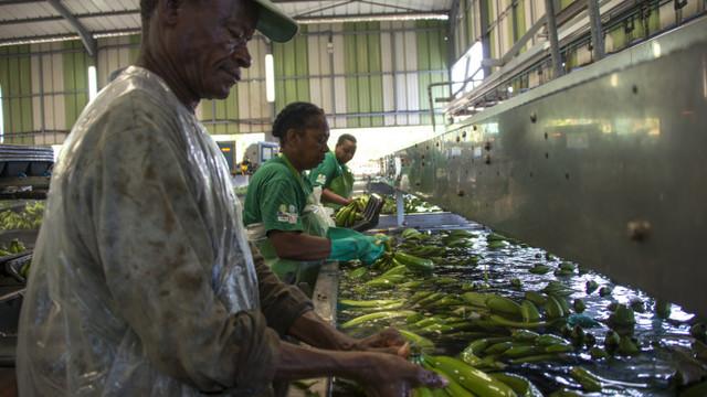 De la plantațiile de banane stropite 20 de ani cu pesticide, aproape toți cetățenii din două țări au acum probleme de sănătate
