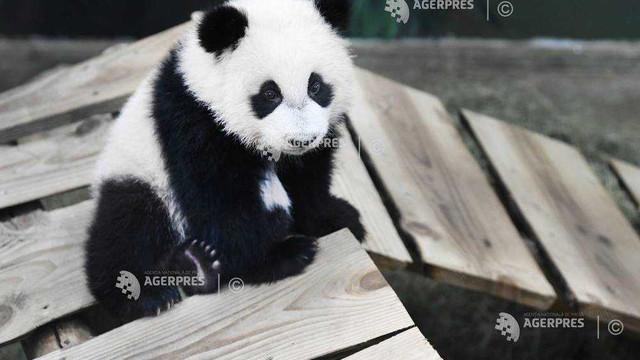 Primul pui de panda gigant născut în Olanda a fost prezentat publicului