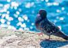 Porumbelul care ar fi călătorit 13.000 de kilometri până în Australia nu va fi omorât. Inelul de la picior era fals