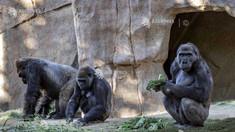 Primul caz cunoscut de transmitere a virusului la maimuțe mari. Două gorile de la o grădină zoologică din California, testate pozitiv pentru noul coronavirus