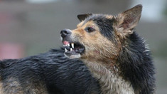 Situația epidemiologică la rabie continuă să fie alarmantă în rândul animalelor