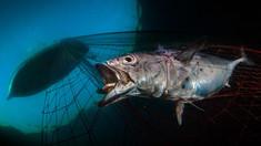 Țărilor UE li se cere să interzică imediat plasele de pescuit și pescuitul excesiv