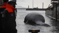 Una dintre cele mai mari balene din Marea Mediterană a fost găsită moartă în sudul Italiei