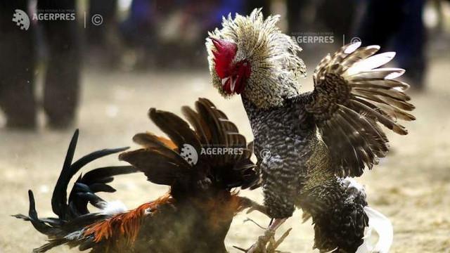 Cuba | A fost adoptată o lege privind bunăstarea animalelor ce permite în continuare luptele de cocoși
