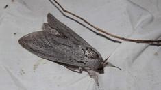 O molie uriașă, cu o anvergură a aripilor de 25 de centimetri, descoperită în zona unei școli din Australia
