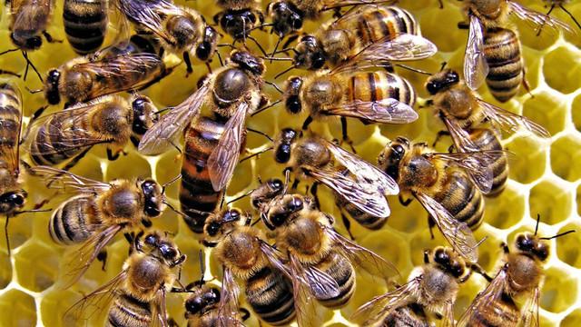 Albinele pot fi antrenate pentru a depista testele pozitive pentru COVID-19, susțin cercetătorii olandezi
