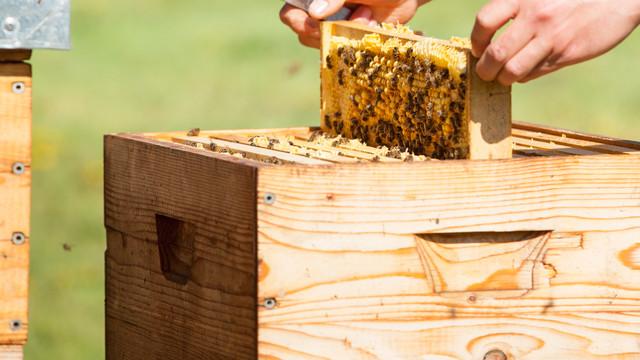 De Ziua Mondială a Albinei apicultorii vin cu un apel de protejare a albinelor și susținere a sectorului apicol