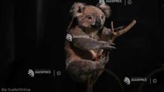 Australia ar putea include koala pe lista animalelor aflate în pericol de dispariție