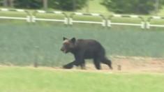 Haos într-un oraș din Japonia provocat de un urs: școli închise, zboruri anulate și oameni baricadați în case