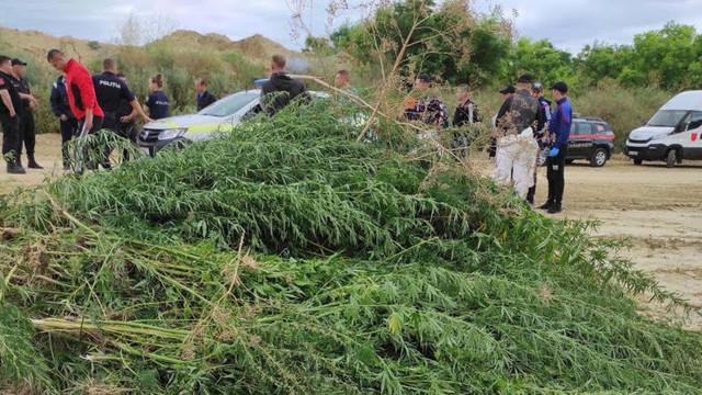 La Taraclia, a fost descoperit un lan cu cânepă