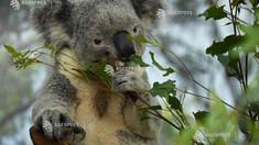Populația de koala, în declin rapid pe teritoriul Australiei