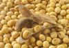 Autoritățile își propun să sporească potențialul de cultivare a soiei