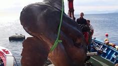 VIDEO | Un Pește-Lună gigant a fost prins în largul exclavei spaniole Ceuta